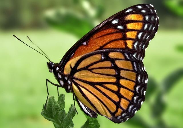 Бабочка к чему снится