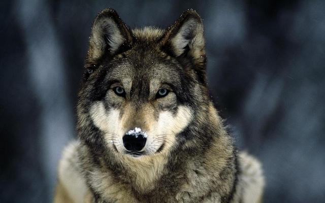 Волк к чему снится