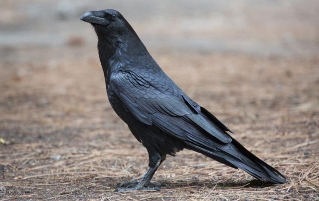 Ворона к чему снится