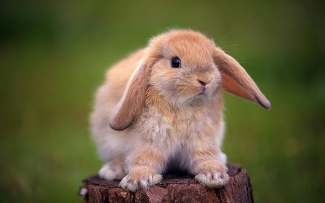Кролик к чему снится